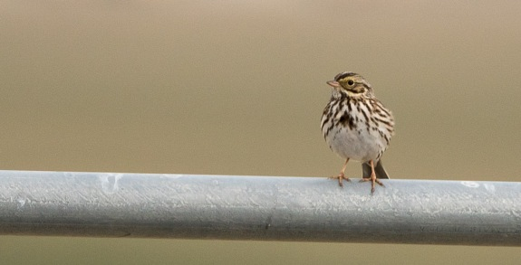 Savannah Sparrow (note yellow lores) on a rolling irrigator (C. Bragg 1/10/15)