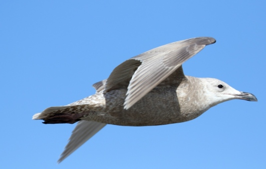 No dark wing-tips on this Glaucous-winged Gull, a winter visitor in small numbers(R. Ehler 1/25/15)