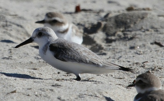 The Sanderling (foreground) is often mistaken for a Snowy Plover, their winter roost-mate(J. Waterman 1/25/15)