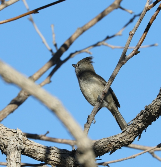 Oak Titmice are more often heard than seen (R. Ehler 1/25/15)