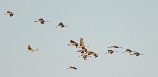 Sandhill Cranes (J. Waterman 2/7/15)