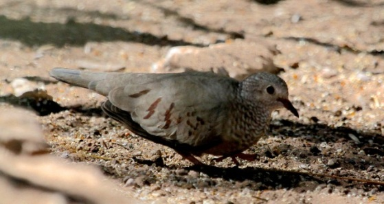Common Ground Dove - note scaly breast & brown-spotted wings (J. Waterman 2/7/15)