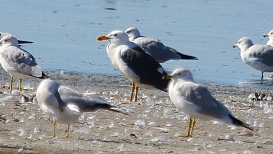 The Yellow-footed Gull stands among lesser mortals. (J. Waterman 2/7/15)