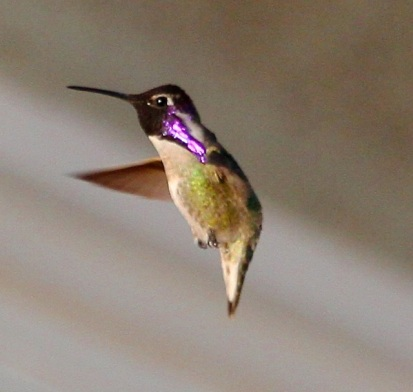 The gorget of the male Costa's Hummingbird is purple with long side 'extensions' (J. Waterman 2/7/15)