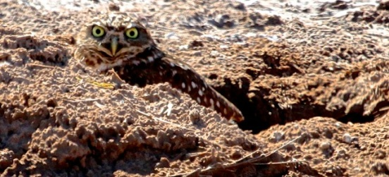 Burrowing Owl at his burrow (J. Waterman 2/7/15)