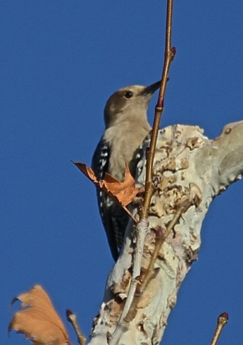 Gila Woodpecker (J. Waterman 2/7/15)