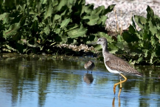 Greater Yellowlegs and the diminutive Least Sandpiper (J. Waterman 2/7/15)