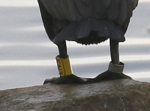 Closeup of rings - EN3 on left leg of DC Cormorant (R.Ehler 2/22/15)