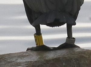 Closeup of rings - EN3 on left leg of DC Cormorant (R.Ehler 2/22/15)