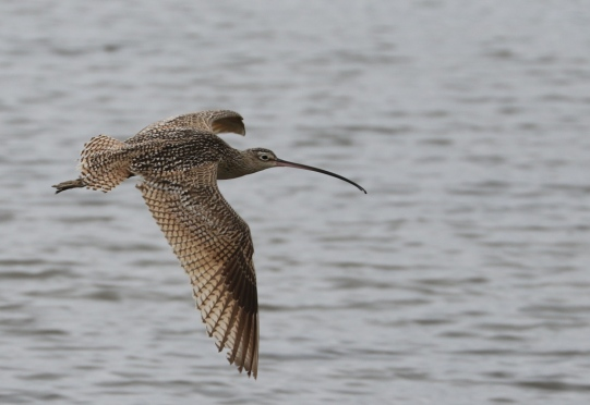 Long-billed Curlew (R.Ehler 2/22/15)