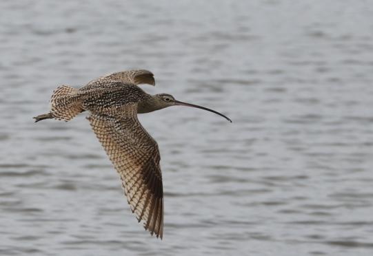 Long-billed Curlew (R.Ehler 2/22/15)