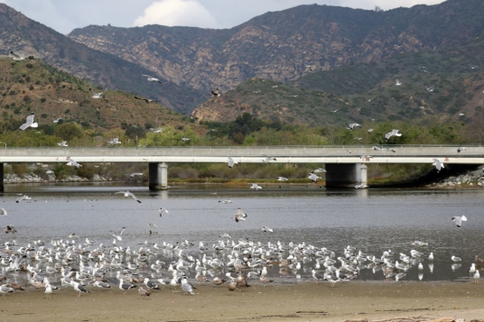 Gull flock with Malibu Canyon in distance (R.Ehler 2/22/15)