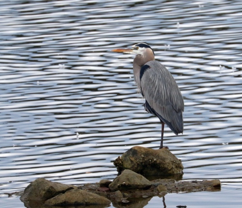 Great Blue Heron (R.Ehler 2/22/15)