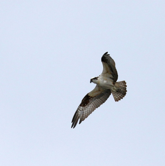 Osprey (R.Ehler 2/22/15)