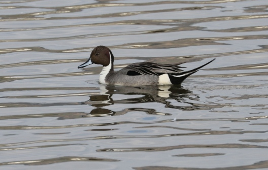Male Northern Pintail, no longer common at the lagoon (R.Ehler 2/22/15)