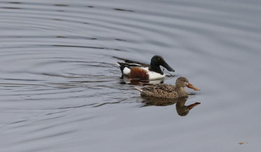 A pair of Northern Shovelers (R.Ehler 2/22/15)