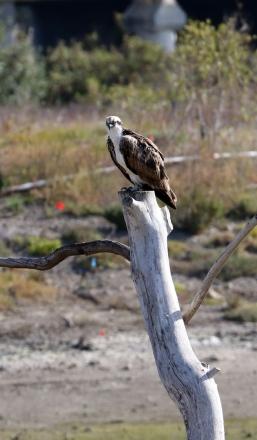 Finally! An Osprey on the osprey pole (R.Ehlers 4/26/15)