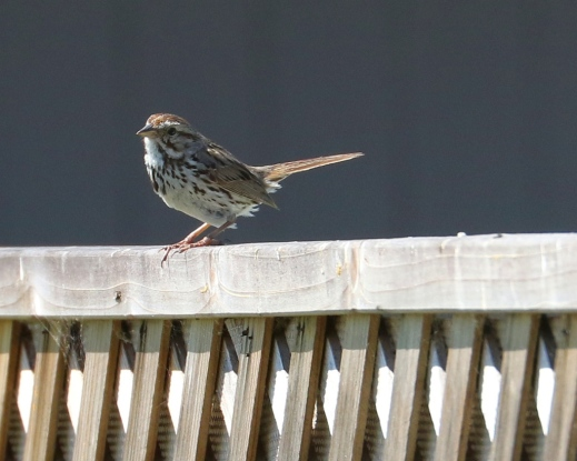 Song Sparrow visits from the Maliby Colony(R.Ehlers 4/26/15)