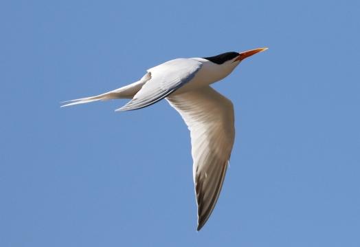 Elegant Tern (R.Ehlers 4/26/15)