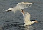 1 Tern Elegant flying_Malibu Lagoon_J Kenney_4 310