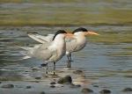 1 Tern Elegant resting_Malibu Lagoon_J Kenney_4 310