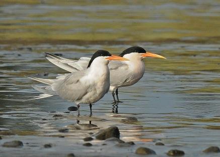 Elegant Tern pair (J. Kenney 4/3/10)