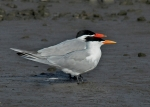 1 Tern Royal – Caspian_Malibu Lagoon_J Kenney_4 1410_R