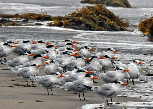 Royal Tern flock (J. Kenney 1/20/10)