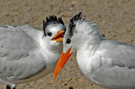 Royal Terns (J. Kenney 11/15/06)