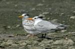 1 Tern Royal juv-adult_Malibu Lagoon_J Kenney_8 2409