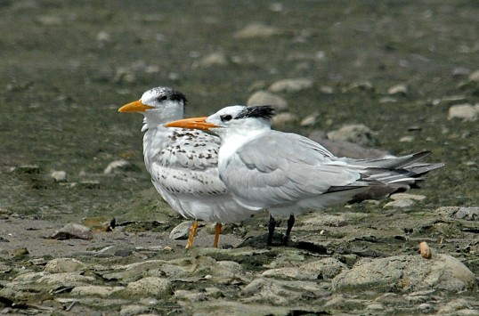 Royal Tern juvenile and adult (J. Kenney 8/4/09)