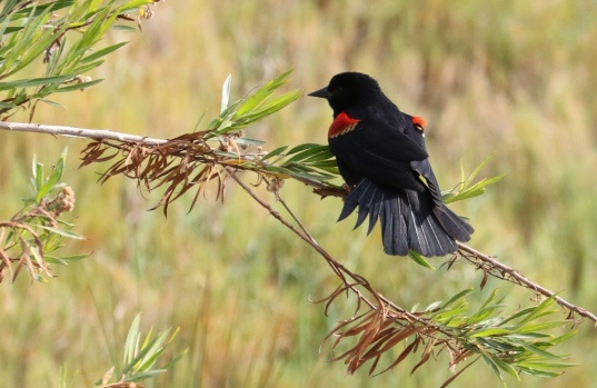 Red-winged Blackbird dempnstrates how he got his name (R. Ehler 5/24/15)