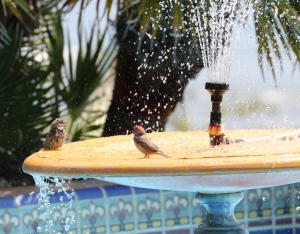 House Finches take a bath at Adamson House (R. Ehler 5/24/15)