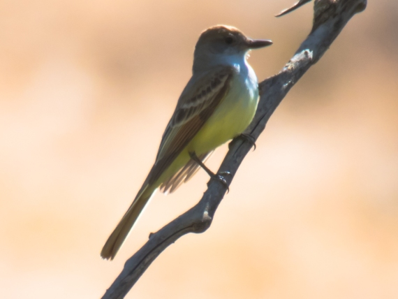 Brown-crested Flycatcher (D. Erwin 5/3/15 Morongo)