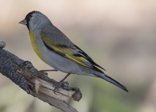 The uncommon male Lawrence's Goldfinch (D. Erwin 5/3/15 Morongo Valley)
