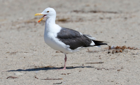 Western Gull in repose (R. Ehler 5/24/15)