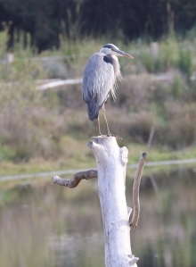 Great Blue Heron on the 'Osprey pole' (R. Ehler 5/24/15)