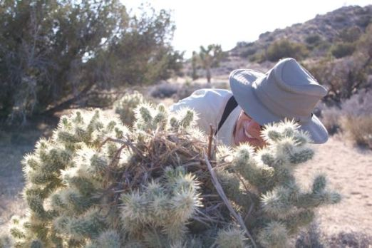 Chuck checks Cactus Wren nest to see if anyone home - Black Rock (R. Seidner 5/2/15)