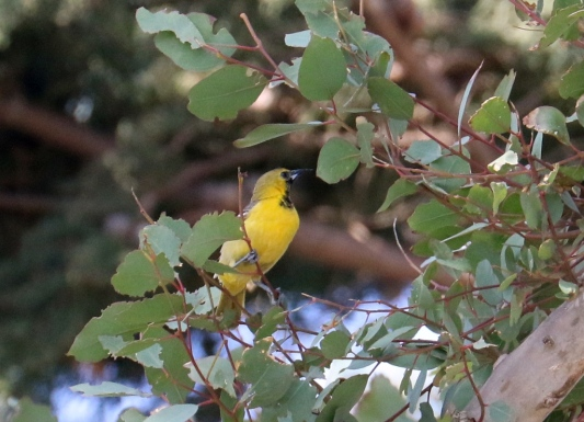 Hooded Oriole, one year old male (R. Ehler 5/24/15)