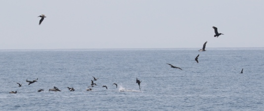 Brown Pelicans discover a small school of fish (R. Ehler 5/24/15)