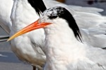 Tern Elegant CU non-breed crest_J Waterman_IMG_4989 – Version2