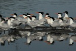 Terns Elegant 2_J Kenney_2015-04-29_DSC_9964