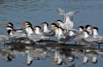 Terns Elegant 3_J Kenney_2015-04-29_DSC_9963