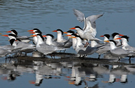 Elegant Terns (Jim Kenney 4/29/15)