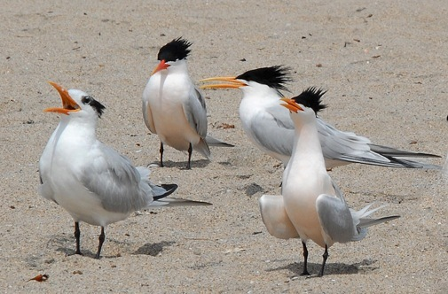 Royal tern (left) with non-breeding crest, 3 Elegant with breeding crest. Royal is noticeably bulkier. Elegant with neck fully extended looks as tall as Royal. (J. Kenney)