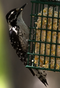 This female woodpecker might actually be a hybrid - buffy lores with otherwise Nuttall's appearance (D. Erwin 5/3/15 Morongo Valley)