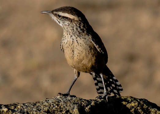 Cactus Wrens sound like a birthday party toy (D. Erwin 5/3/15 Black Rock)