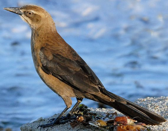 Great-tailed Grackle adult female basic plumage 11/27/07