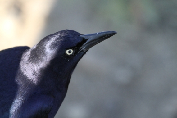 Great-tailed Grackle adult male basic plumage 12/22/23