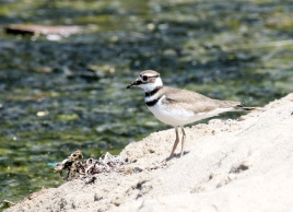 Yet another plover - the Killdeer (R. Ehler 7/26/15)
